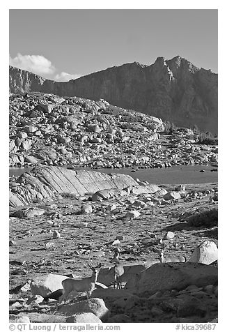 Deer in alpine terrain, Dusy Basin, afternoon. Kings Canyon National Park, California, USA.