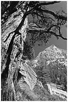 Pine tree and peak, Le Conte Canyon. Kings Canyon National Park ( black and white)