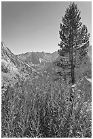 Fireweed and pine tree above Le Conte Canyon. Kings Canyon National Park, California, USA. (black and white)