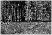 Ferns and trees bordering Zumwalt Meadows. Kings Canyon National Park ( black and white)