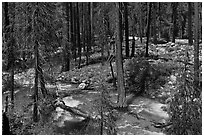 Streams in forest in the spring, Cedar Grove. Kings Canyon National Park ( black and white)