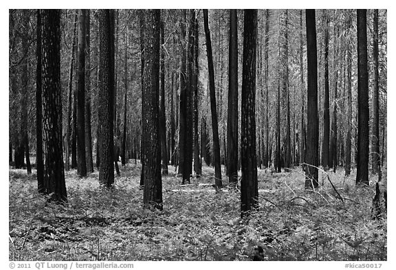Burned forest and ferns. Kings Canyon National Park (black and white)
