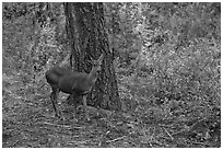 Juvenile deer. Kings Canyon National Park, California, USA. (black and white)