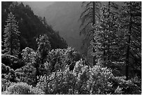 Trees on Cedar Grove valley rim. Kings Canyon National Park, California, USA. (black and white)