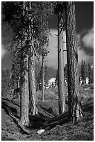 Ponderosa pine trees and sky, Hotel Creek. Kings Canyon National Park ( black and white)