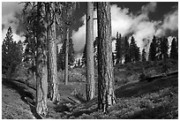 Group of Ponderosa pines and sky. Kings Canyon National Park ( black and white)