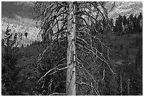 Standing tree skeleton. Kings Canyon National Park ( black and white)
