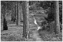Trail in pine forest. Kings Canyon National Park ( black and white)