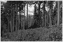 Pine trees and mountains. Kings Canyon National Park ( black and white)