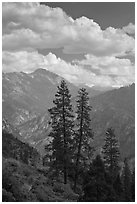 Trees and hazy valley. Kings Canyon National Park ( black and white)