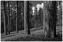 Ponderosa pine forest. Kings Canyon National Park ( black and white)