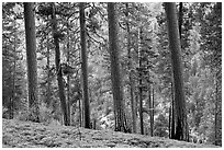 Pine trees, Lewis Creek. Kings Canyon National Park, California, USA. (black and white)
