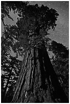 Moonlit sequoia and star trails. Kings Canyon National Park ( black and white)