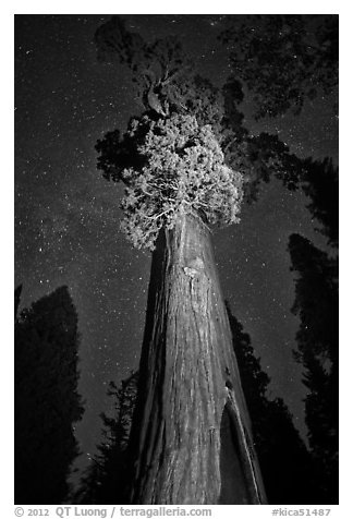 General Grant tree under starry skies. Kings Canyon National Park, California, USA.