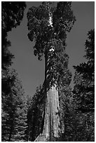 General Grant tree. Kings Canyon National Park ( black and white)