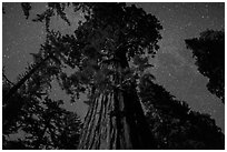 Giant Sequoia moonlit at night. Kings Canyon National Park ( black and white)