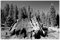 Big sequoia stump,  Giant Sequoia National Monument near Kings Canyon National Park. California, USA (black and white)