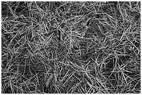 Close-up of fallen needles and chunks of wood. Kings Canyon National Park ( black and white)