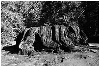 Mark Twain Stump, 90 feet cicumferance. Kings Canyon National Park ( black and white)