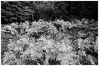 Ferns in autumn, Big Stump Basin. Kings Canyon National Park ( black and white)