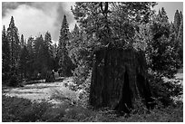 Meadow with sequoia stumps, Big Stump Basin. Kings Canyon National Park ( black and white)