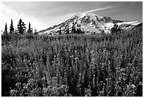 Dense carpet of wildflowers and Mt Rainier from Paradise, late afternoon. Mount Rainier National Park, Washington, USA. (black and white)