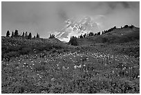 Lupine and Mt Rainier in fog from Paradise. Mount Rainier National Park, Washington, USA. (black and white)