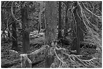 Westside rainforest. Mount Rainier National Park, Washington, USA. (black and white)