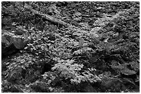 Shrubs in autumn color growing on talus slope. Mount Rainier National Park, Washington, USA. (black and white)