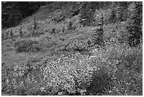 Wildflowers bloom while berry plants turn to autumn color in background. Mount Rainier National Park, Washington, USA. (black and white)
