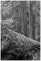 Moss-covered fallen tree in Patriarch Grove. Mount Rainier National Park, Washington, USA. (black and white)