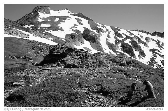 Marmots and Sahale Peak, morning, North Cascades National Park.  (black and white)