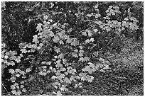 Vine maple leaves in autumn color, North Cascades National Park. Washington, USA. (black and white)