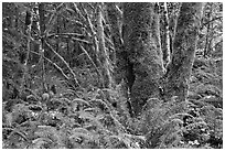 Ferns and moss-covered trunks, North Cascades National Park Service Complex. Washington, USA. (black and white)