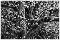 Maple and moss-covered tree trunks, North Cascades National Park Service Complex. Washington, USA. (black and white)
