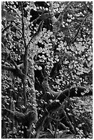 Maple leaves in dark rainforest, North Cascades National Park Service Complex. Washington, USA. (black and white)