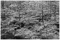 Ferms in autumn foliage, North Cascades National Park Service Complex. Washington, USA. (black and white)