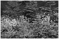 Mosaic of berry plants in autumn color and sapplings, North Cascades National Park. Washington, USA. (black and white)