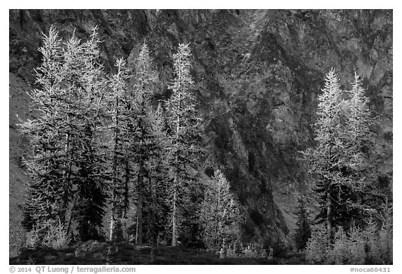 Alpine larch in autumn and rock wall, Easy Pass, North Cascades National Park.  (black and white)