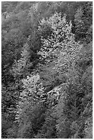 Trees in autumn foliage on steep slope, North Cascades National Park Service Complex.  ( black and white)