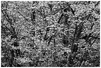 Close-up of trees in fall foliage, Thunder Creek, North Cascades National Park Service Complex.  ( black and white)