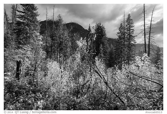 Fall colors and McGregor Mountain, North Cascades National Park.  (black and white)