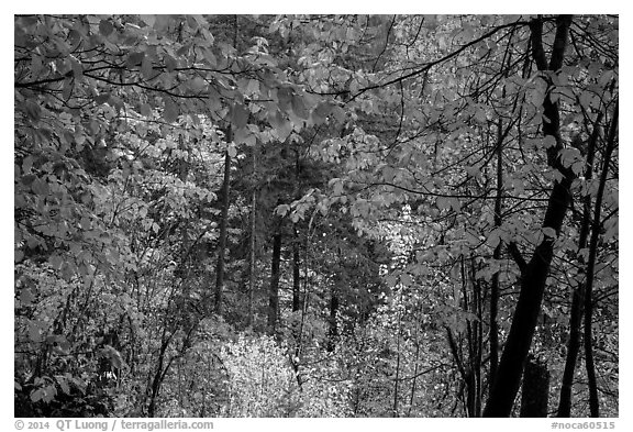 Autumn foliage along Agnes Gorge trail, North Cascades National Park.  (black and white)