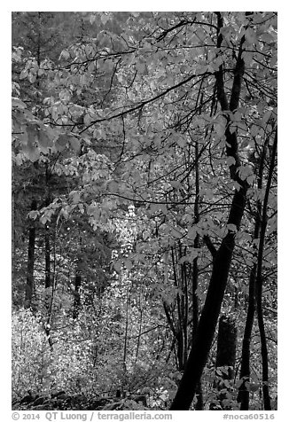Fall foliage along Agnes Gorge trail, North Cascades National Park.  (black and white)