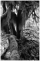 Club moss on vine maple and bigleaf maple in Hoh rain forest. Olympic National Park, Washington, USA. (black and white)