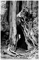 Cedar tree. Olympic National Park ( black and white)