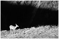 Deer on ridge above valley shadows, Hurricane ridge. Olympic National Park, Washington, USA. (black and white)