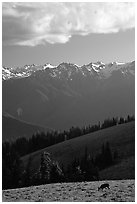 Deer and Olympus Range, Hurricane ridge, afternoon. Olympic National Park ( black and white)