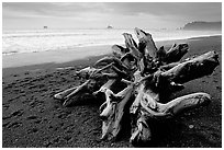 Large roots of driftwood tree, Rialto Beach. Olympic National Park ( black and white)