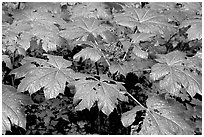 Red berries and leaves. Olympic National Park ( black and white)
